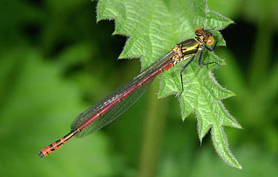 Damselflies Photograph - Large Red Damselfly by Nigel Downer