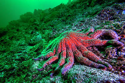 Juan De Fuca Photograph - Large Red Sunflower Starfish by James White