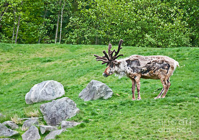 Photograph - Large Reindeer Molting In Summer Pasture Art Prints by Valerie Garner