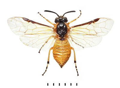 Sawfly Photograph - Large Rose Sawfly by Natural History Museum, London