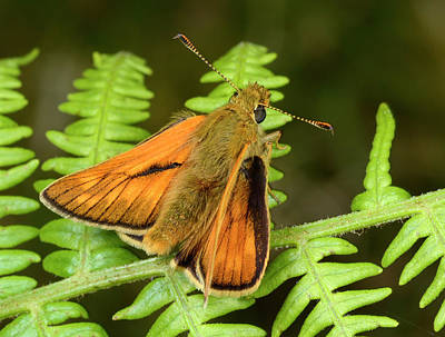 Large Skipper Butterfly Art Print by Nigel Downer