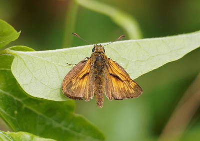 Photograph - Large Skipper Butterfly by Paul Gulliver