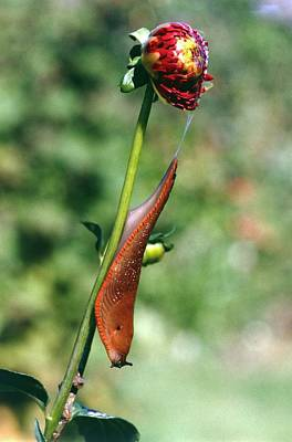 Large Slug On Dahlia Plant Art Print by Brian Gadsby/science Photo Library