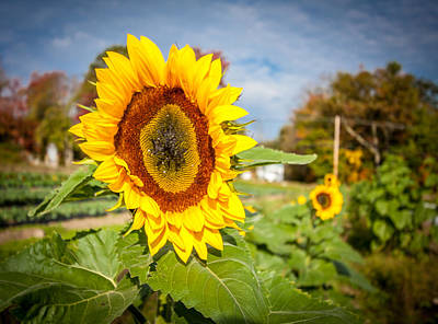 Photograph - Large Sunflower Overlooks Rest Of Crop by Karen Stephenson