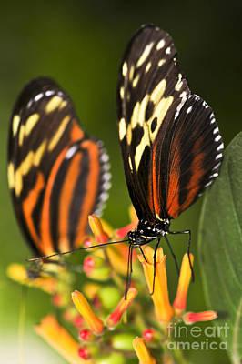 Animals Photos - Large tiger butterflies by Elena Elisseeva