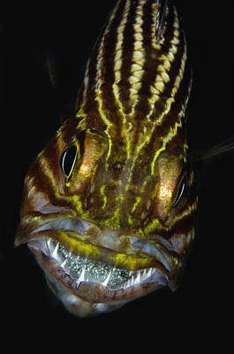 Photograph - Large-toothed Cardinalfish Brooding by Dray van Beeck