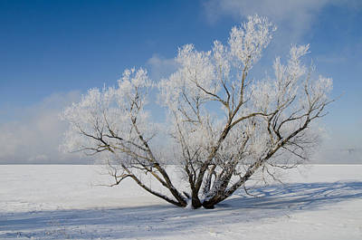 Rights Managed Images Photograph - Large Tree With Hoar Frost. Remic Rapids. by Rob Huntley
