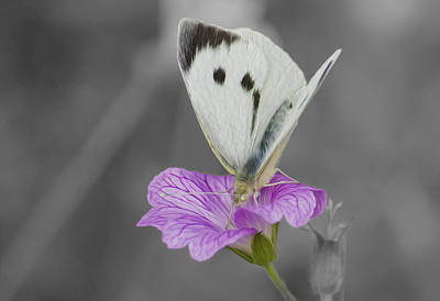 Photograph - Large White Butterfly by Veli Bariskan