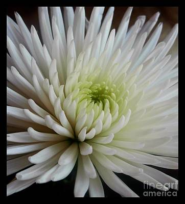 Photograph - Large White Dahlia by Joan-Violet Stretch