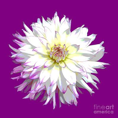 Large White Dahlia On Purple Background. Art Print by Rosemary Calvert
