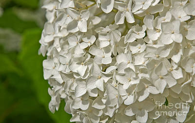 Photograph - Large White Hydrangea Flower by Valerie Garner