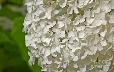 Photograph - Large White Hydrangea Flower by Valerie Garner