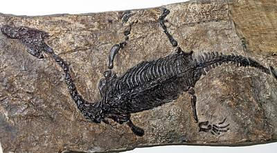 Triassic Photograph - Lariosaurus Balsami by Dirk Wiersma