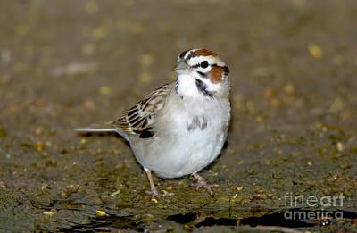 Lark Sparrow Art Print