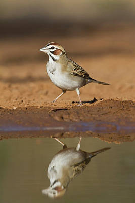 Starr Photograph - Lark Sparrow, Chondestes Grammacus by Larry Ditto