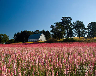 Photograph - Larkspur And White Barn by Chuck Flewelling