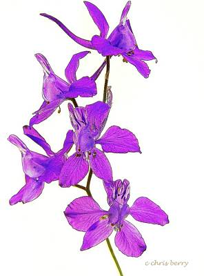 Photograph - Larkspur  by Chris Berry