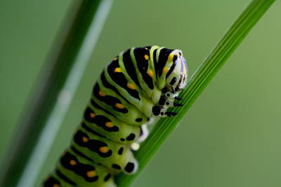 Larva...caterpillar  Art Print by Larry Trupp