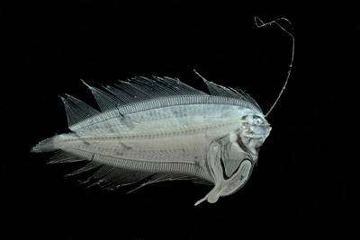 Nekton Photograph - Larval Flatfish Collected In Trawl by Dant� Fenolio