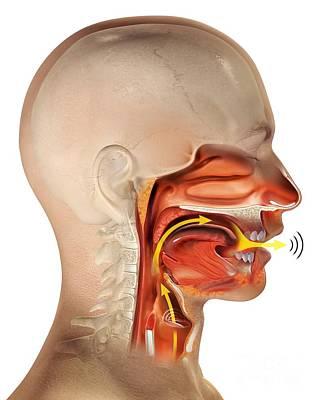 Larynx Anatomy, Artwork Art Print by Claus Lunau