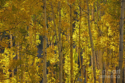 Photograph - Last Dollar Aspens by Randy Rogers
