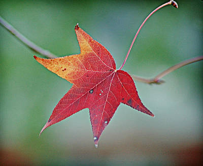 Photograph - Last Leaf by Linda Brown