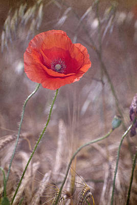 Last Poppy Art Print by Guido Montanes Castillo
