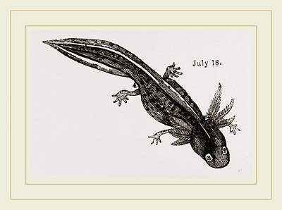 Newts Drawing - Last Stage Of Young Water Newt by Litz Collection