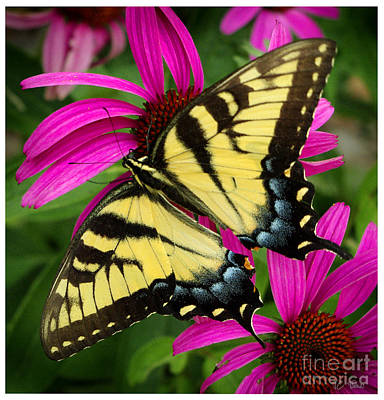 Photograph - Swallowtail Butterfly by James C Thomas