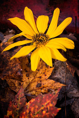 Photograph - Last Sunflower In Autumn Leaves by Chris Bordeleau
