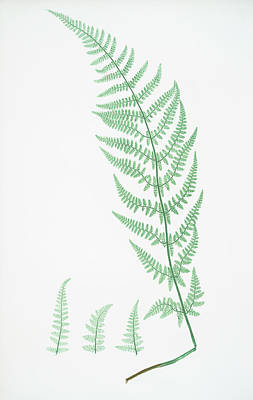 Prickly Drawing - Lastrea Dilatata Chanteriæ by Artokoloro