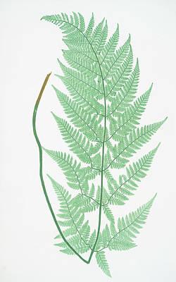 Prickly Drawing - Lastrea Dilatata Glandulosa by Artokoloro
