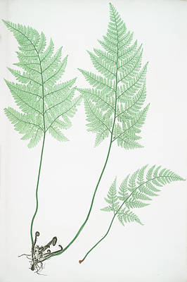 Vegetation Drawing - Lastrea Foeniseeii by Litz Collection