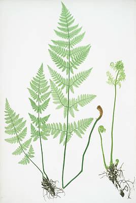Prickly Drawing - Lastrea Spinulosa by Artokoloro