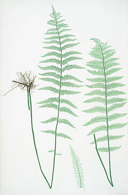 Fern Drawing - Lastrea Thelypteris by Litz Collection