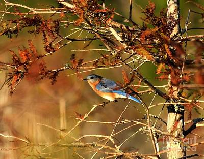 Late Fall Bluebird Art Print