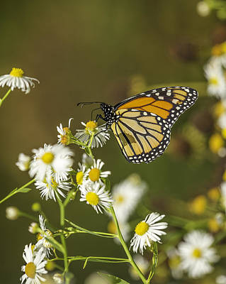 Fox Valley Photograph - Late Monarch by Thomas Young