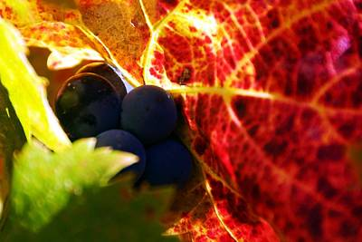Photograph - Late Season Grapes by Michael Courtney