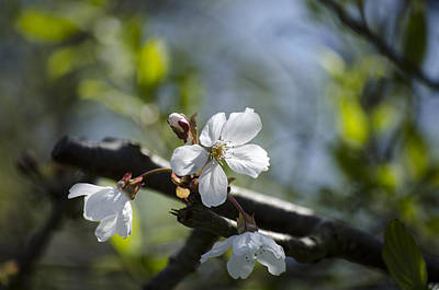 Photograph - Late Spring Blossom by Spikey Mouse Photography