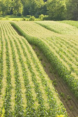 Late Summer Corn Field In Maine Art Print by Keith Webber Jr