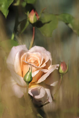 Photograph - Late Summer Rose by Albert Seger
