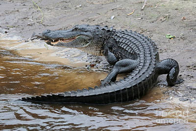Photograph - Later Gator by Carol Groenen