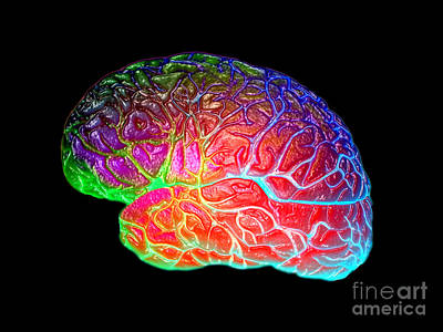 Photograph - Lateral View Of A Model Brain by Living Art Enterprises, LLC