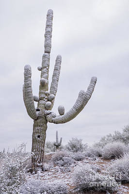 Photograph - Snow On Latigo Trail Saguaro by Marianne Jensen