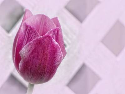 Photograph - Lattice Tulip by MTBobbins Photography