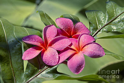 Photograph - Lauae Hawaiian Fern And Pink Plumeria Blossoms by Sharon Mau