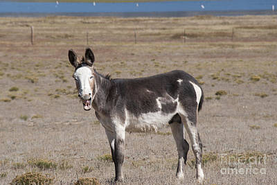 Foal Photograph - Laughing Donkey by Juli Scalzi
