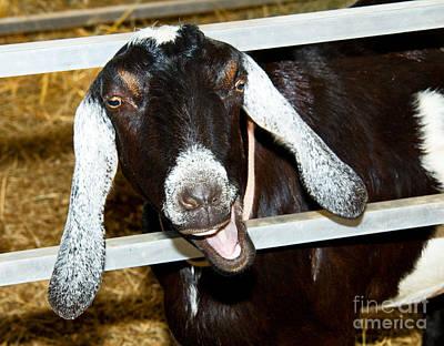 Photograph - Laughing Goat by Millard H Sharp