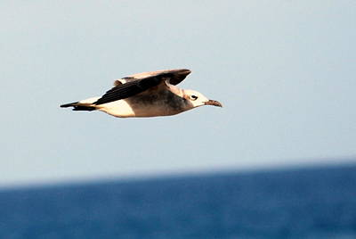 Photograph - Laughing Gull 001 by Larry Ward