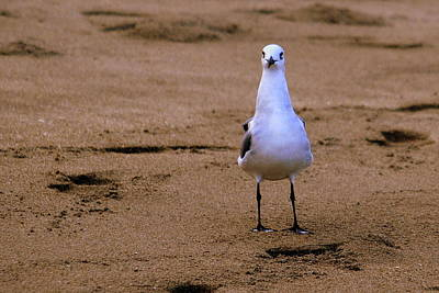 Photograph - Laughing Gull 004 by Larry Ward